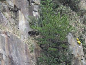 カモシカが岩場の上部をうろついていた